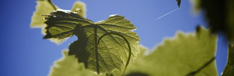 Vine leaf backlit